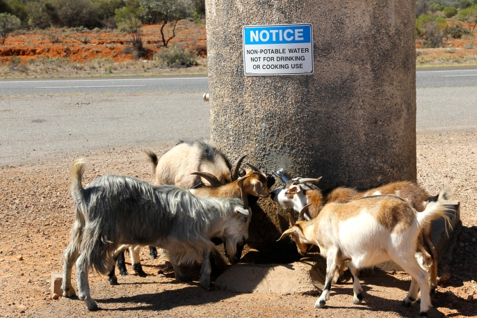 Rest Area For Goats (NSW)
