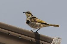 Singing Honeyeater - Yorke Peninsula - Port Turton (SA)