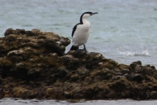 Black-faced Shag - Yorke Peninsula - Between Point Turton and Burners Beach (SA)