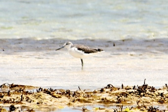 Common Greenshank - Non-Breeding - Yorke Peninsula - Between Point Turton and Burners Beach (SA)