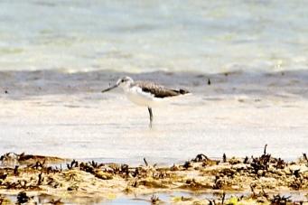 Common Greenshank - Non-Breeding - Yorke Peninsula - Between Point Turton and Burners Beach (SA)