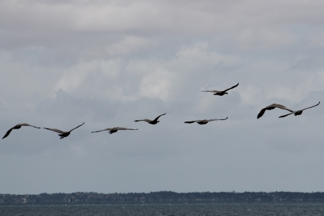 Cape Barren Geese - Yorke Peninsula - Between Point Turton and Burners Beach (SA)