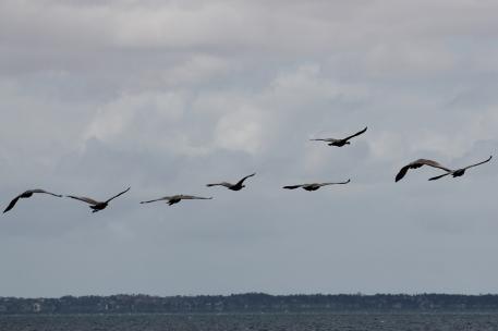 Cape Barren Geese - Yorke Peninsula - Between Point Turton and Burners Beach (SA)
