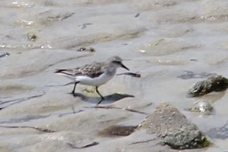 Red-necked Stint - Yorke Peninsula - Just Before Corny Point (SA)