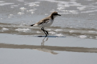 Red-capped Plover - Yorke Peninsula - Corny Point Lighthouse Beach (SA)