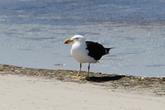 Pacific Gull - Yorke Peninsula - Gym Beach (SA)