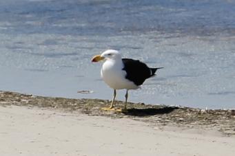 Pacific Gull - Yorke Peninsula - Gym Beach (SA)