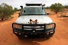 Bowra Wildlife Reserve - Horny Land Rover (Qld)