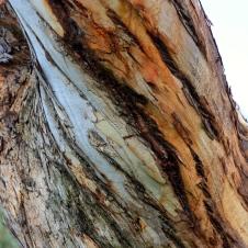 Mt Gambier - Tree Trunk (SA)