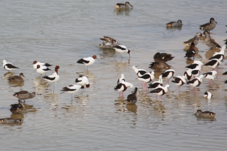 Red-necked Avocets, Banded Stilts and Pink-eared Ducks - Pool of Siloam, Beachport (SA)