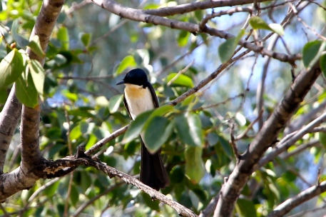 Restless Flycatcher - St George (Qld)