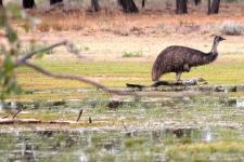 Emu - Bowra Wildlife Reserve (Qld)