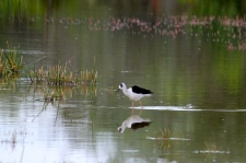 Black-winged Stilt - Imm - Bowra Wildlife Reserve (Qld)