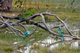 Red-winged Parrots and Mallee (Australian) Ringnecks - Bowra Wildlife Reserve (Qld)