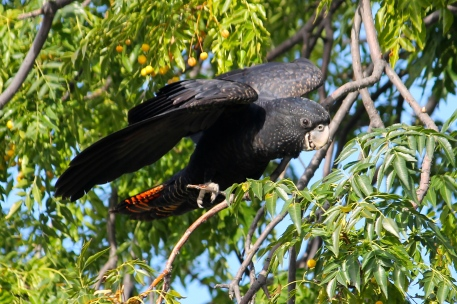 Red-tailed Black - Cockatoo - Kidmans Camp, Bourke (NSW)