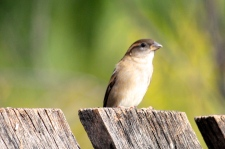 House Sparrow - Female - Kidmans Camp, Bourke (NSW)