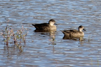 Grey Teal Ducks - Newey Reservoir, Cobar (NSW)