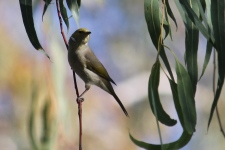 White-plumed Honeyeater - Billabourie (NSW)