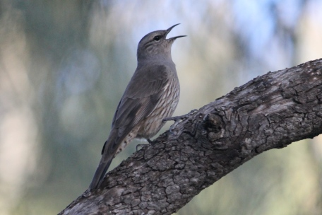 Brown Treecreeper - Billabourie (NSW)