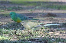 Red-rumped Parrot - Pair - Billabourie (NSW)
