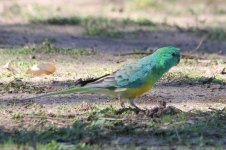 Red-rumped Parrot - Male - Billabourie (NSW)