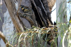 Billabourie Riverside Tourist Park - Tree Goanna (NSW)