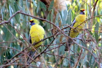 Crimson Rosella - Race flaveolus - 'Yellow Rosella' - Billabourie (NSW)