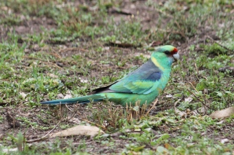 Mallee Ringneck - Billabourie (NSW)
