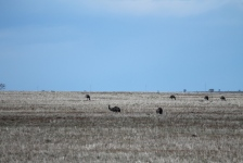 Hay - Emus Feeding (NSW)