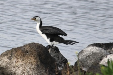 Little Pied Cormorant - Hamilton Lake (Vic)