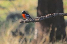 Scarlet Robin - Male - Byaduk Caves (Vic)
