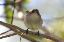Superb Fairy-wren - Female - Mt Gambier - Valley Lake Conservation Park (Vic)