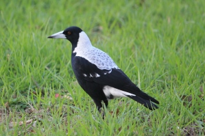 Australian Magpie - 'White-backed Magpie' - Mt Gambier, Blue Lake Area (SA)