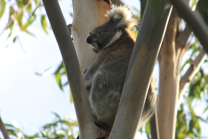 Koala - Mt Gambier - Valley Lake Conservation Park (SA)