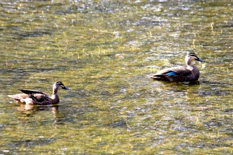 Pacific Black Ducks - Valley Lake Area (SA)