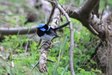 Superb Fairy-wren - Male Breeding - Mt Gambier - Valley Lake Conservation Park (Vic)