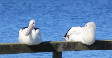 Pelicans - Nelson (Vic)