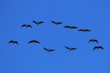 Straw-necked Ibis - Nelson (Vic)