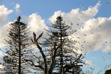 Strathalbyn - Soldiers Memorial Gardens - Flocks Of Corellas (SA)