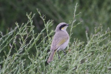 Singing Honeyeater - Australian Arid Lands Botanical Garden Port Augusta (SA)
