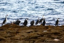 Pied Cormorants and Black-faced Shags/Cormorants - Point Lowly (SA)