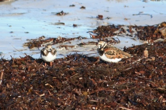 Ruddy Turnstones - Back Beach near Port Neill (SA)