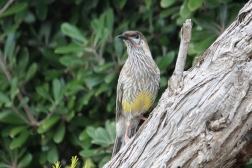 Red Wattlebird - North Shields (SA)