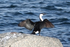 Black-faced Cormorant/Shag - Louth Bay (SA)