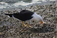 Pacific Gull - Coffin Bay (SA)