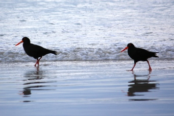 Sooty Oystercatchers - Fishery Bay (SA)