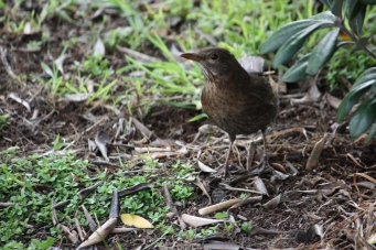 Blackbird - North Shields, Port Lincoln (SA)