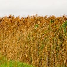 Narrung Jetty - Reeds (SA)