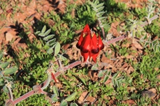 Port Augusta - Australian Arid Lands Botanical Gardens - Sturt's Desert Pea (SA)