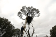 Boogardie Station - The Breakaways - Paul Checking The Wedge-tailed Eagle Nest (WA)